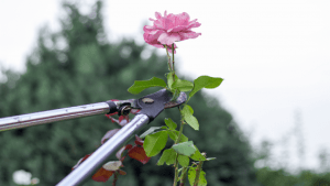 Cutting Back Rose Bush