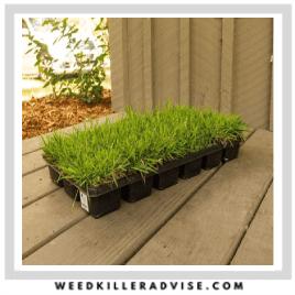 4 Zoysia Sod Plugs – Dog resistant grass seed